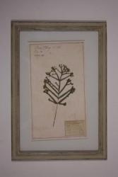 "Naturalienkabinett ""getrocknete Pflanze Fünffingerfarn"""