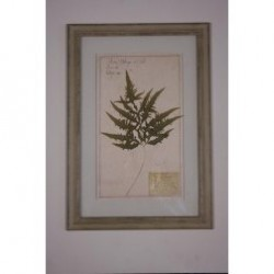 """Naturalienkabinett """"getrocknete Pflanzen Farn"""""""