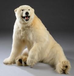 Eisbär Tierpräparat